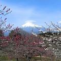 Plum Blossom's At Iwamoto Japan by Janice Robertson