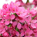 Plum Blossoms by Christiane Schulze Art And Photography