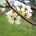 Plum Blossoms In Spring by Kent Lorentzen