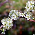 Plum Tree Blossoms by Betty Northcutt