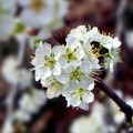Plum Tree Blossoms II by Betty Northcutt