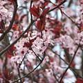 Plum Tree In Bloom by Laurie Kidd