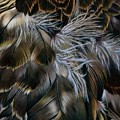Plumas De Oro by Rosellen Westerhoff