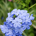 Plumbago by Diane Macdonald