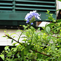 Plumbago In Pastels by Suzanne Gaff