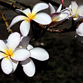 Plumeria 1 by Doug Johnson