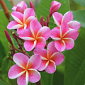 Plumeria After The Rain II by Hao Aiken
