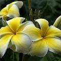 Plumeria by Ann Horn