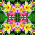 Plumeria Art by Araceli Molina