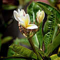 Plumeria At Balboa Park by Kenneth Roberts