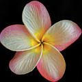 Plumeria Flower On Black by Mitch Shindelbower