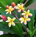 Plumeria Flowers 5 by Gregory E Dean