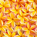 Plumeria Flowers by Kyle Rothenborg - Printscapes