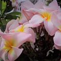 Plumeria In Pink 4 by Huery Talbert