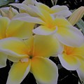 Plumeria In Yellow 4 by Huery Talbert
