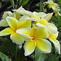 Plumeria In Yellow  5 by Huery Talbert