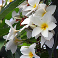 Plumeria by Robert Meanor