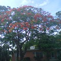 Poinciana In Summer Time by Malcolm Muhammad