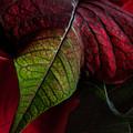 Poinsettia by Ann Garrett