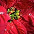 Poinsettia by David Hart