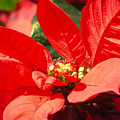 Poinsettia by Mary Lane