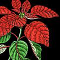 Poinsettia Plant Watercolour  by Irina Sztukowski