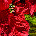 Poinsettias - Flaming Reds by Lucyna A M Green