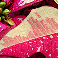 Poinsettias -  Painted And Speckled Up Close by Lucyna A M Green