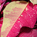 Poinsettias -  Painted And Speckled Up Close Too by Lucyna A M Green
