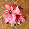 Poinsettias -  Pinks On Tile Too by Lucyna A M Green
