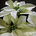 Poinsettias -  Winter White At Night by Lucyna A M Green
