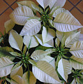 Poinsettias -  Winter Whites On Tile by Lucyna A M Green