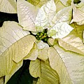 Poinsettias In White by Mindy Newman