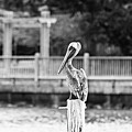 Point Clear Alabama Brown Pelican - Bw by Scott Pellegrin