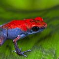 poison dart frog Escudo by Dirk Ercken