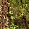 Poison Ivy Climbing Oak Tree Trunk by Michal Junasek