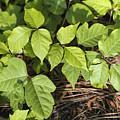 Poison Oak Vine - Toxicodendron by Kathy Clark