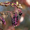 Pokeweed Berries 20121020_129 by Tina Hopkins