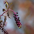 Pokeweed Berries 20121020_134 by Tina Hopkins