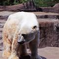 Polar Bear 2 by Crystal Webb