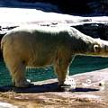 Polar Bear 3 by Rose Santuci-Sofranko