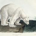 Polar Bear by John James Audubon