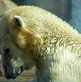 Polar Bear by Linda Benoit