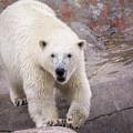Polar Bear Prowl  by LeeAnn McLaneGoetz McLaneGoetzStudioLLCcom