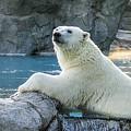 Polar Bear by Steven Ralser