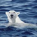 Polar Bear Swimming Baffin Island Canada by Flip Nicklin
