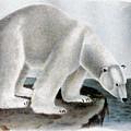 Polar Bear (ursus Maritimus) by Granger