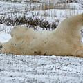 Polar Bear Yoga by Connie Jeffcoat