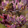 Pollen Bees by Roger Medbery