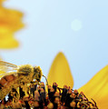 Pollen-coated Honey Bee On A Sunflower by Roger Medbery